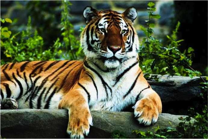 [Image 1. Tiger]